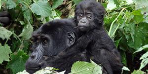 double gorilla trekking