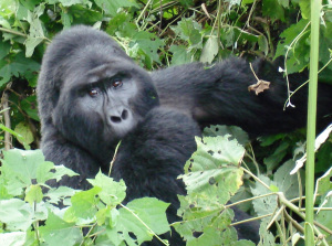 gorilla-safari-uganda