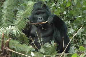 gorilla-tour-bwindi
