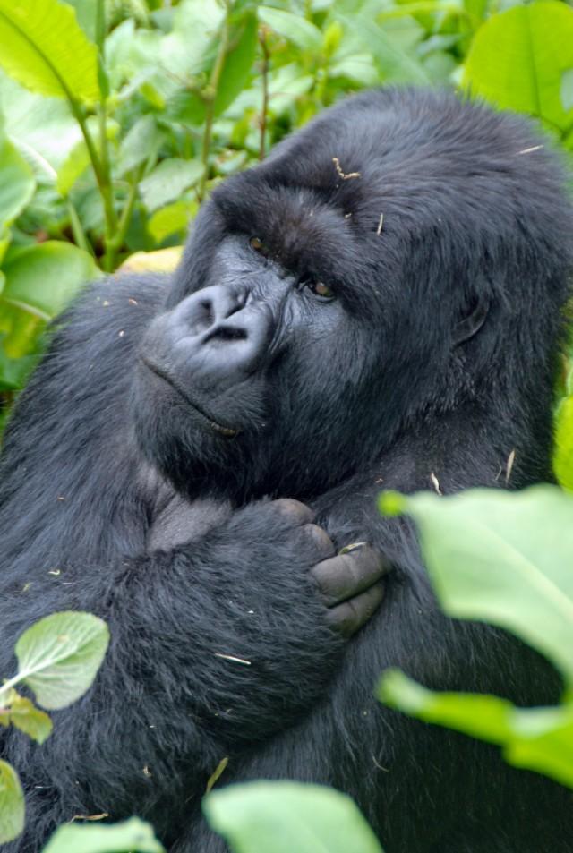 Blackback-gorilla-rwanda