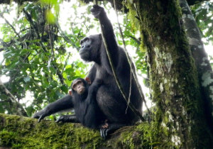 chimpanzee-kibale-national-park
