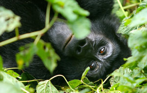 gorilla-in-bwindi-forest