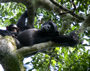 kibale-island-chimps