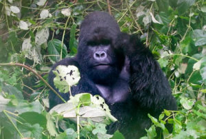 mountain-gorilla-adventure