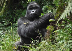 mountain-gorilla-bwindi-forest-uganda