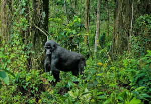 mountain-gorilla-uganda-jungle