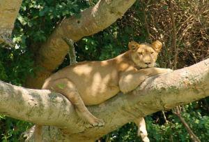 tree-lions-queen-elezabeth-uganda
