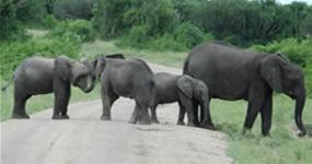 elephants-murchison-falls