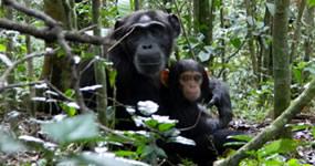 chimps kibale forest