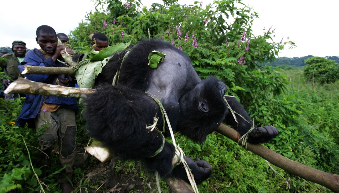 Poarchers Carrying a Mountain Gorilla in DR Congo