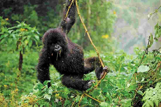 Baby Gorilla Swinging on Tree in the Jungle