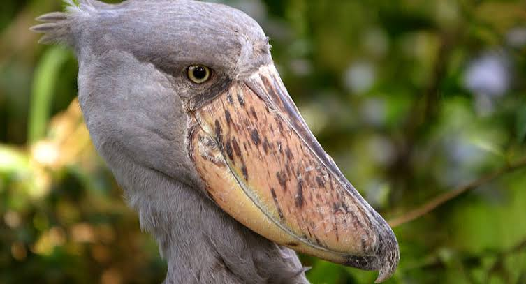 Shoebill: Birding Safari in Uganda