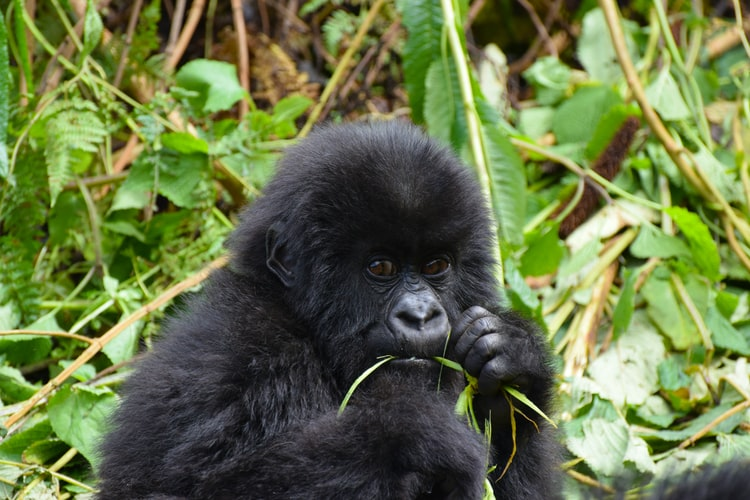 Gorilla Habituation in Bwindi National Park