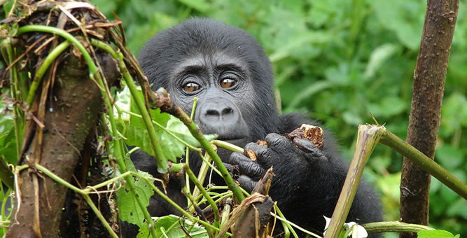 Gorilla safari in Mgahinga National park Uganda